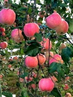 鶴田りんご