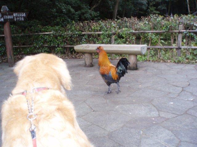 東高根森林公園のニワトリ