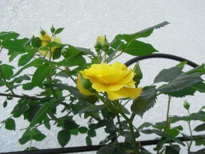 Evergold