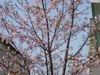 2012-5-2 桜満開