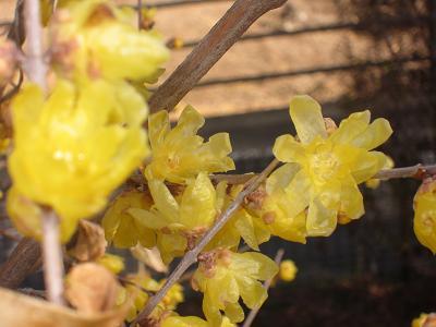 IMG_2032 ⑩ 開花のロウバイ