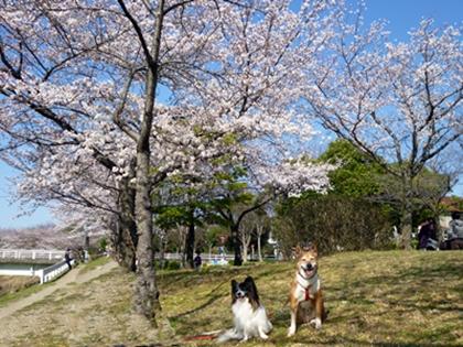 桜とポチテト