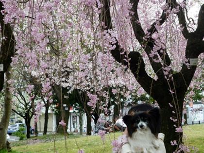 しだれ桜とテト