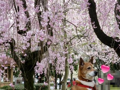 しだれ桜とポチ