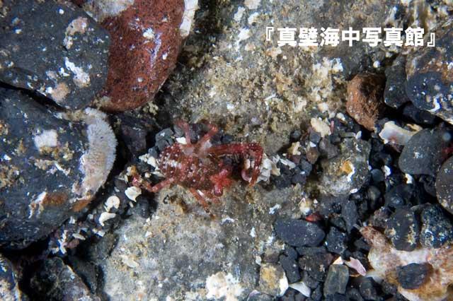 09★異尾類の幼体1-02