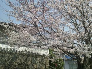 24048sakura2_convert_20120408163630.jpg