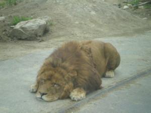 tomioka-safaripark61.jpg