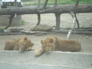 tomioka-safaripark63.jpg