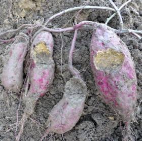 2014_11 04_さつま芋収穫・2