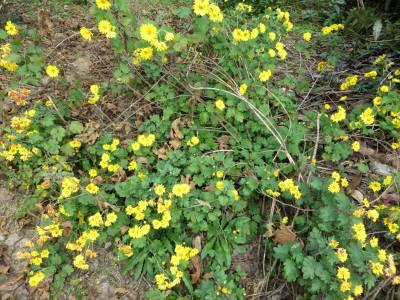 2014_11 20_予約ブログ用(2)野草化した菊の花