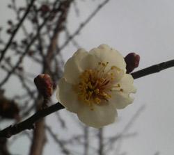 咲き始めました・・・我が家の梅園の様子