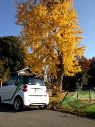 道中素敵な銀杏の木があったので激写