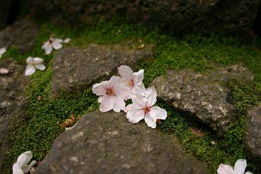 977-sakura-hanabira.jpg