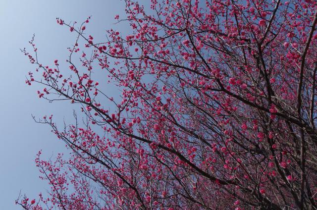 2彩~咲誇る赤梅~
