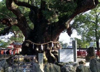 宇美八幡宮 樟 (350x251)