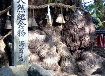 樟の根っこ (350x253)