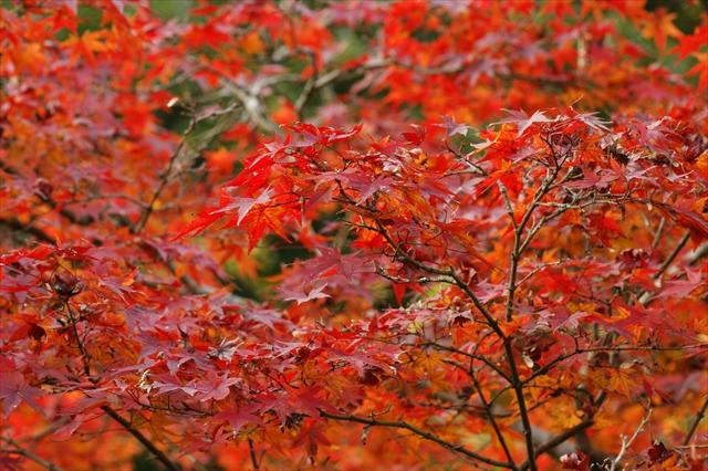 お隣さんちの紅葉