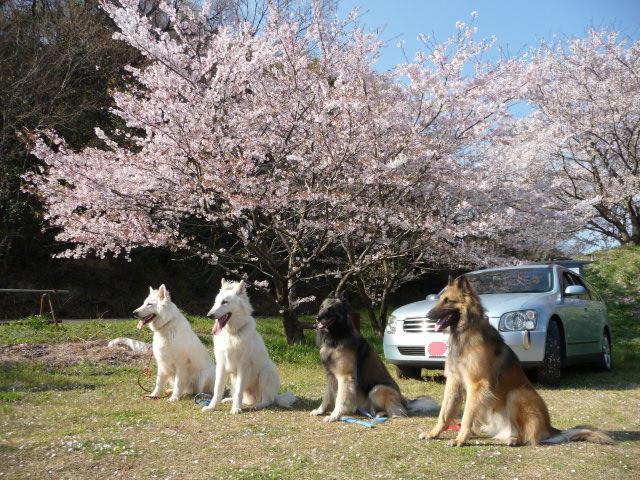 桜の下で並んでみたわ~