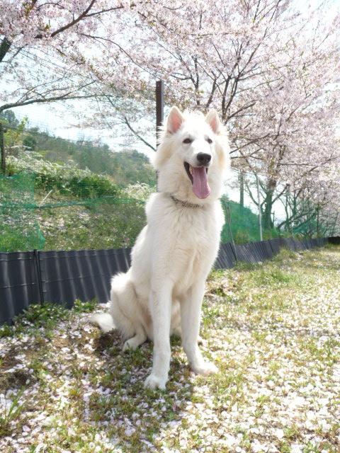 ホワイトスイスシェパード★エース★2012年春