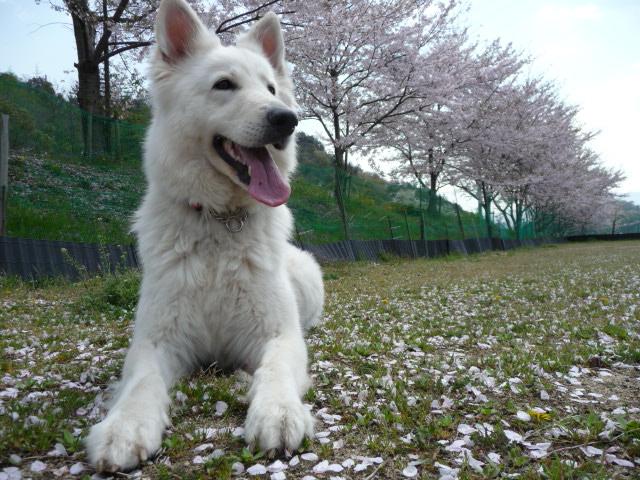 綺麗な桜の下でニッコニッコ