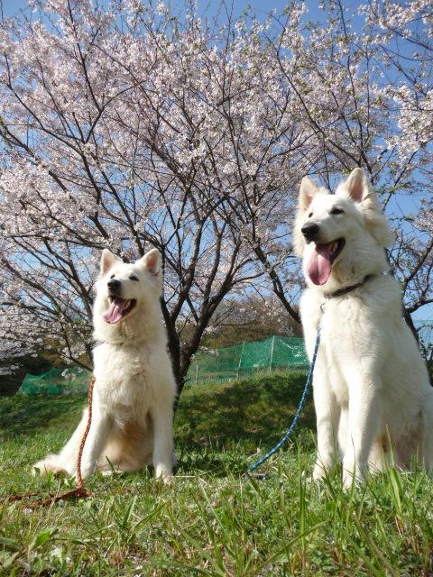 桜・青空・草&ホワイトスイスシェパードの白