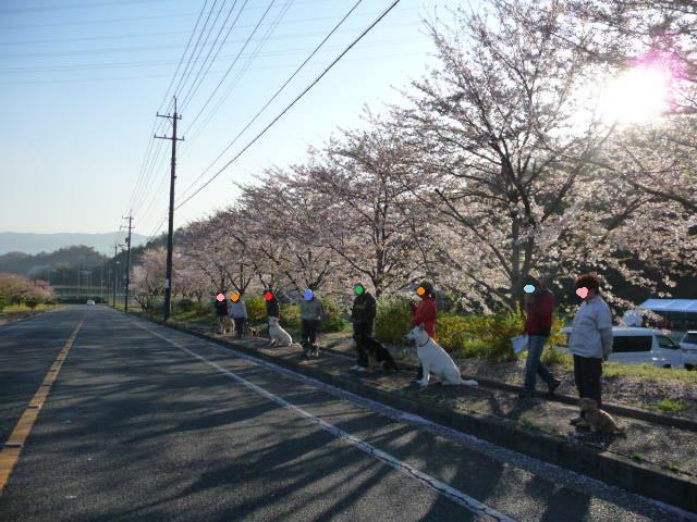 桜が綺麗~♪
