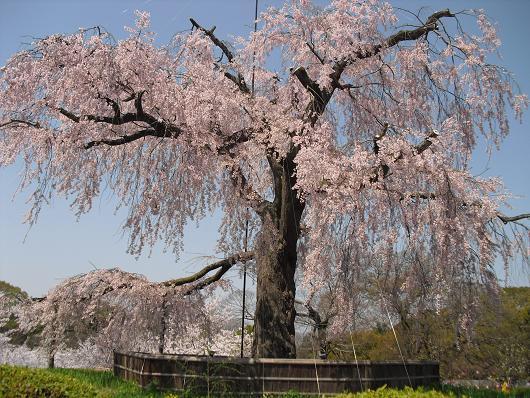 5 丸山公園・しだれ桜