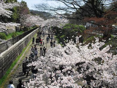 7 インクライン跡の桜