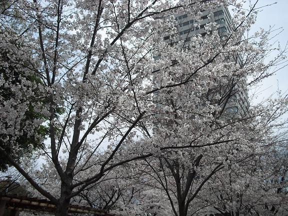 1 会場前の桜