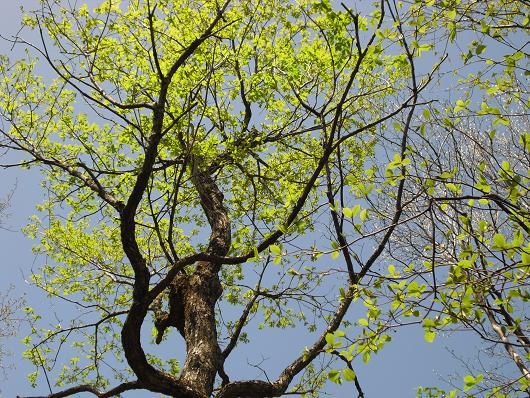 14 ブナの木