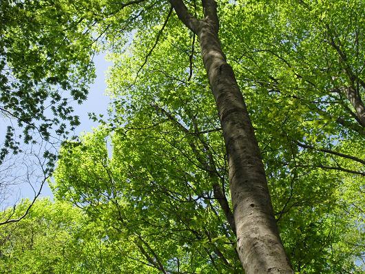 15 ブナの木