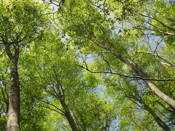 16 ブナの木