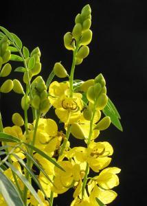 チンネベリー花