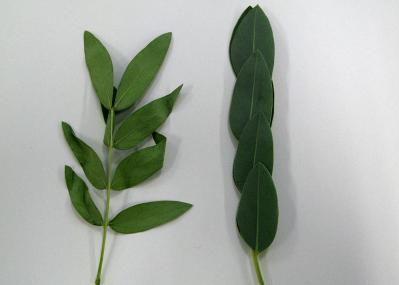 センナ葉比較