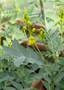 アレキサンドリア花