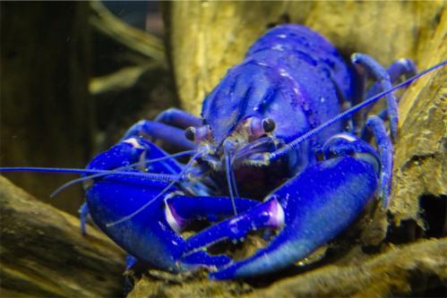 blue-maron.jpg