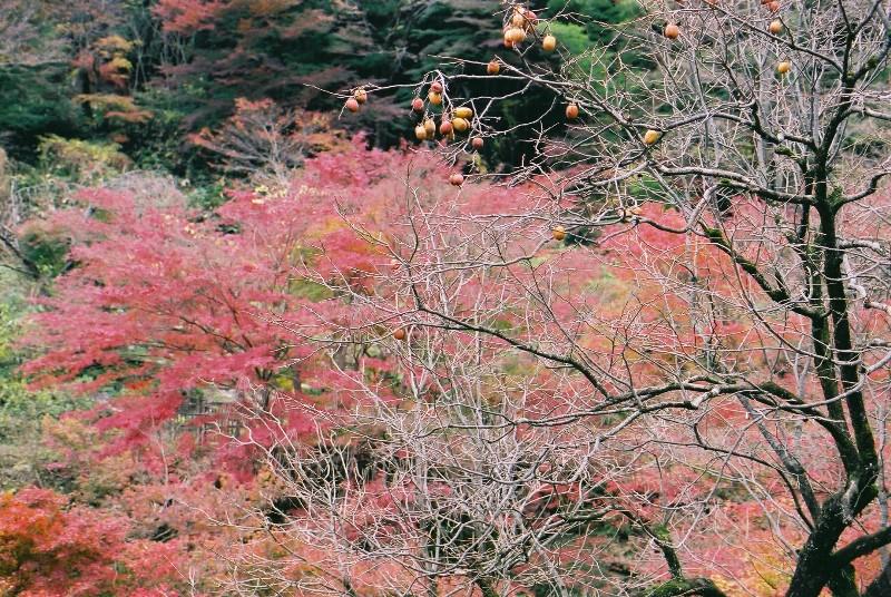 柿の木のある風景(2)