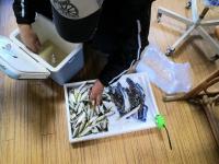魚を並べる伊藤