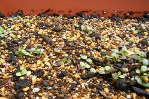 サラダの芽1
