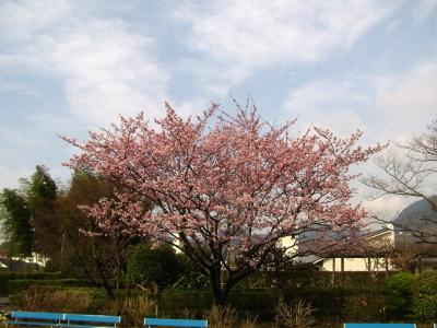 H230315桜