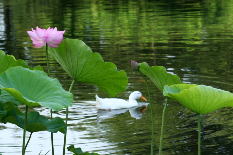 池の大賀蓮