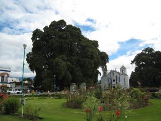 エル・トゥーレの巨木