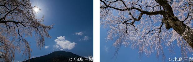 入門桜撮影会8
