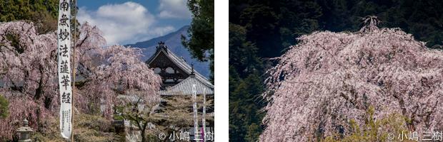 入門桜撮影会7