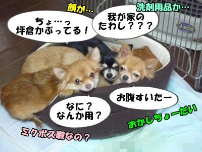 ちーわわP1260681