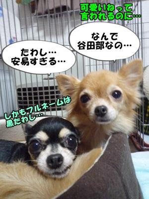 ちーわわP1260653