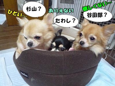 ちーわわP1260648
