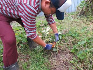 安納芋の畝