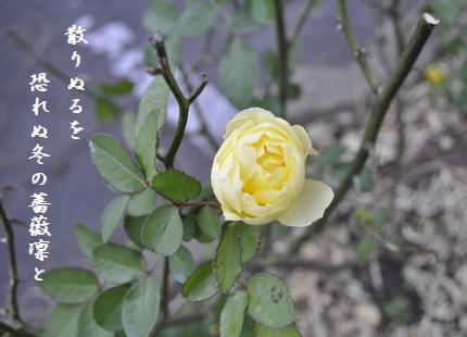 ふゆ薔薇9散りぬるを