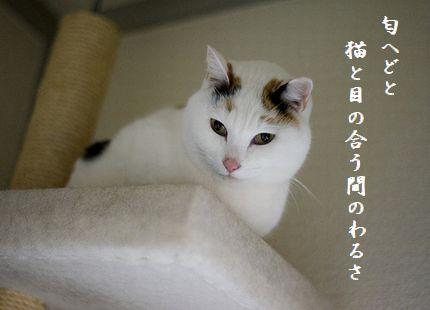 ネコ(白・天井)匂へどと